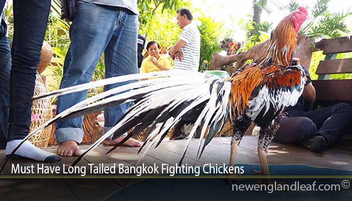 Must Have Long Tailed Bangkok Fighting Chickens